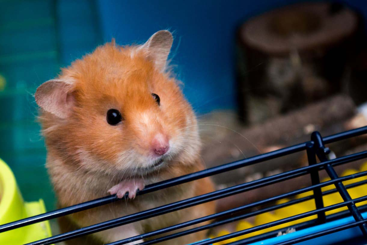 A Hampster